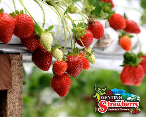 Strawberry Farm in Genting Highlands